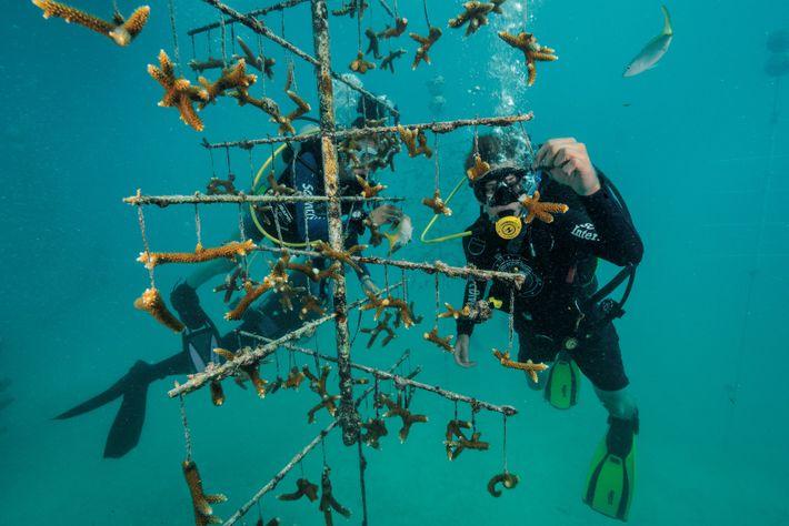 Dans les Florida Keys, John Ziska, 18 ans, un bénévole de SCUBAnauts International, s'occupe de boutures ...