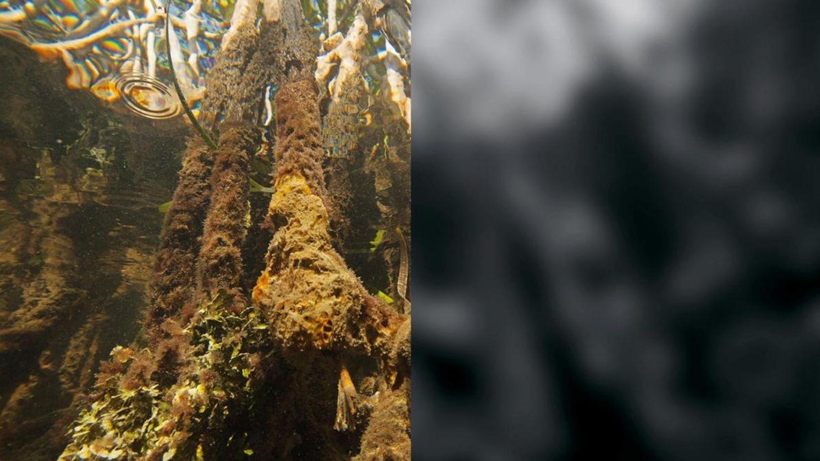 Tripedalia cystophora - La méduse-boîte n'a pas de cerveau pour interpréter les données sensorielles, mais elle ...
