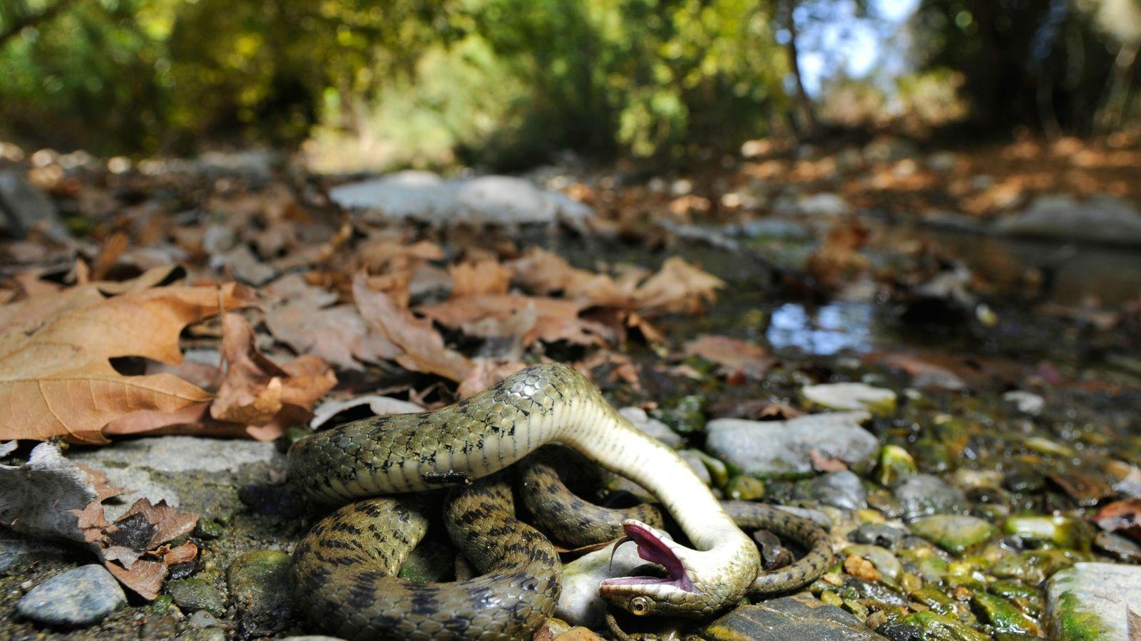 snake-feining-death-02