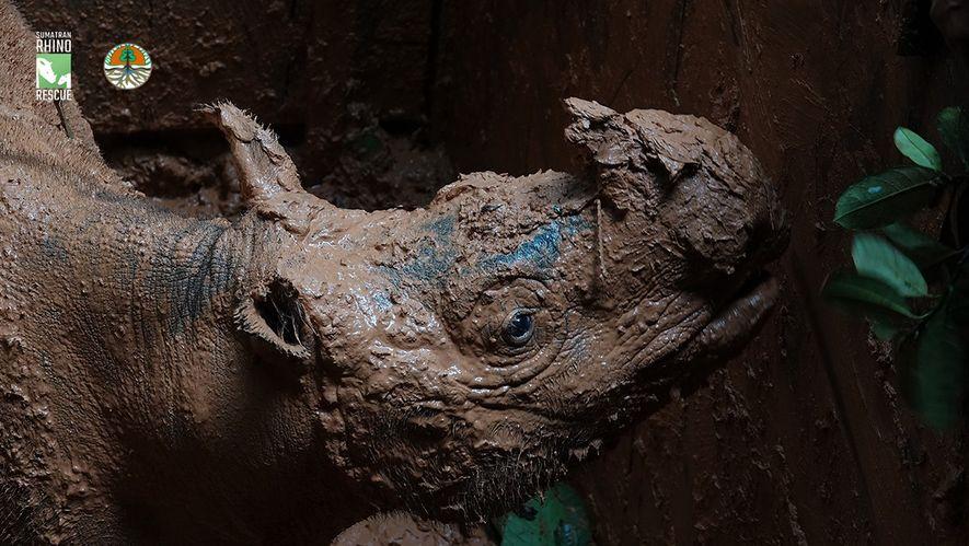 Pahu, une femelle rhinocéros de Sumatra solitaire, a été capturée grâce à un piège à fosse ...