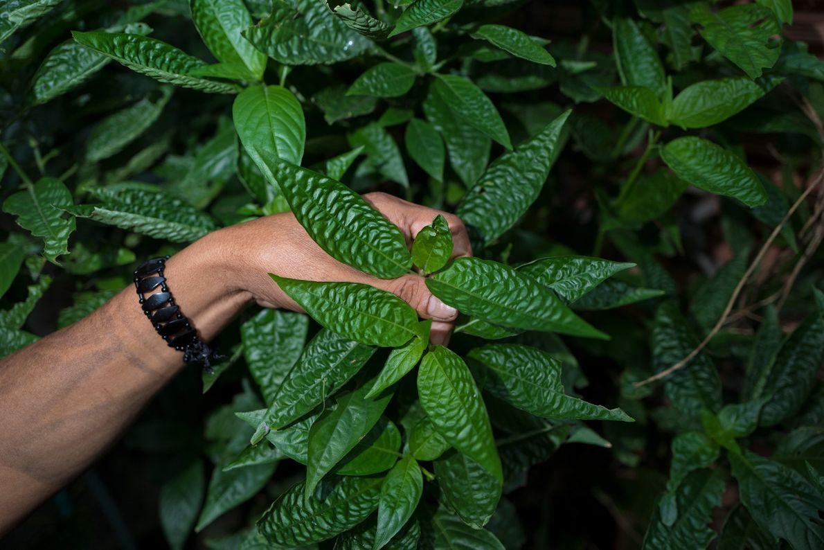 Un chaman de la tribu Dessana cueille les feuilles d'une plante médicinale en bordure de Manaus, ...