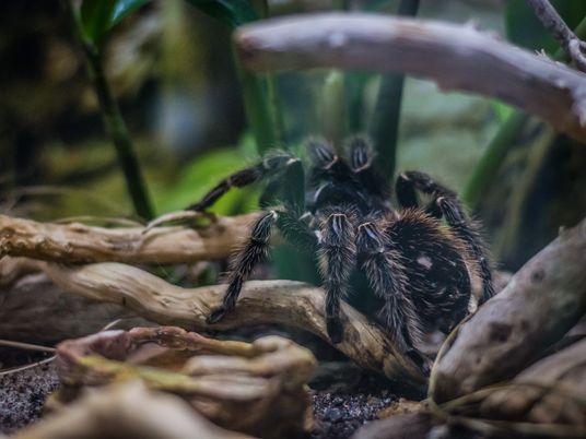 La nouvelle vie des mygales victimes du braconnage