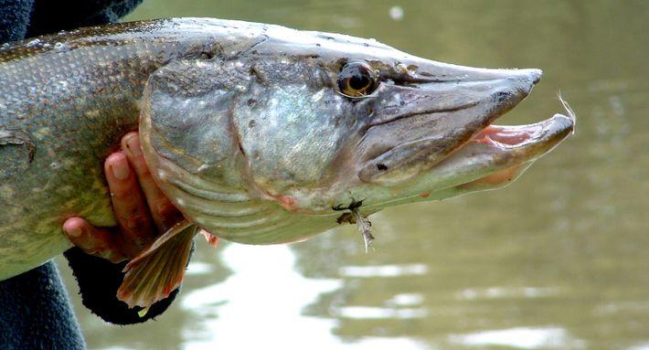 Le grand brochet, un poisson vorace