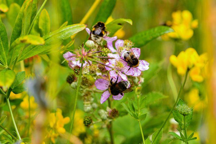 Originaires d'Europe, ces bourdons terrestres se nourrissent de fleurs de murier à Puerto Blest, en Argentine. Cette ...