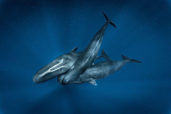 Trois cachalots femelles nagent ensemble : l'adulte Canopener (« Ouvre-Boîte »), la jeune Hope (« Espoir ...