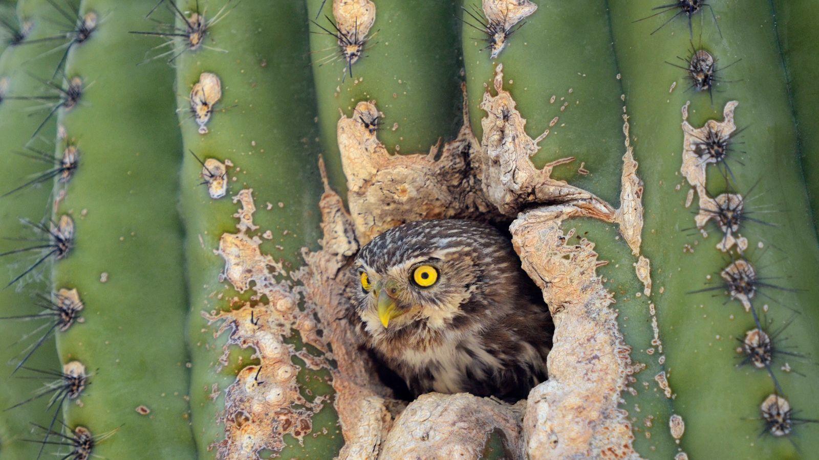 Un Glaucidium brasilianum cactorum sort la tête d'un saguaro. Les oiseaux élèvent leurs petits au creux de ...