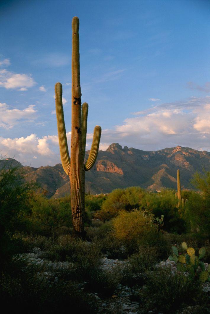 Le cactus saguaro, dont la taille peut atteindre 12 mètres, est originaire du désert de Sonora ...