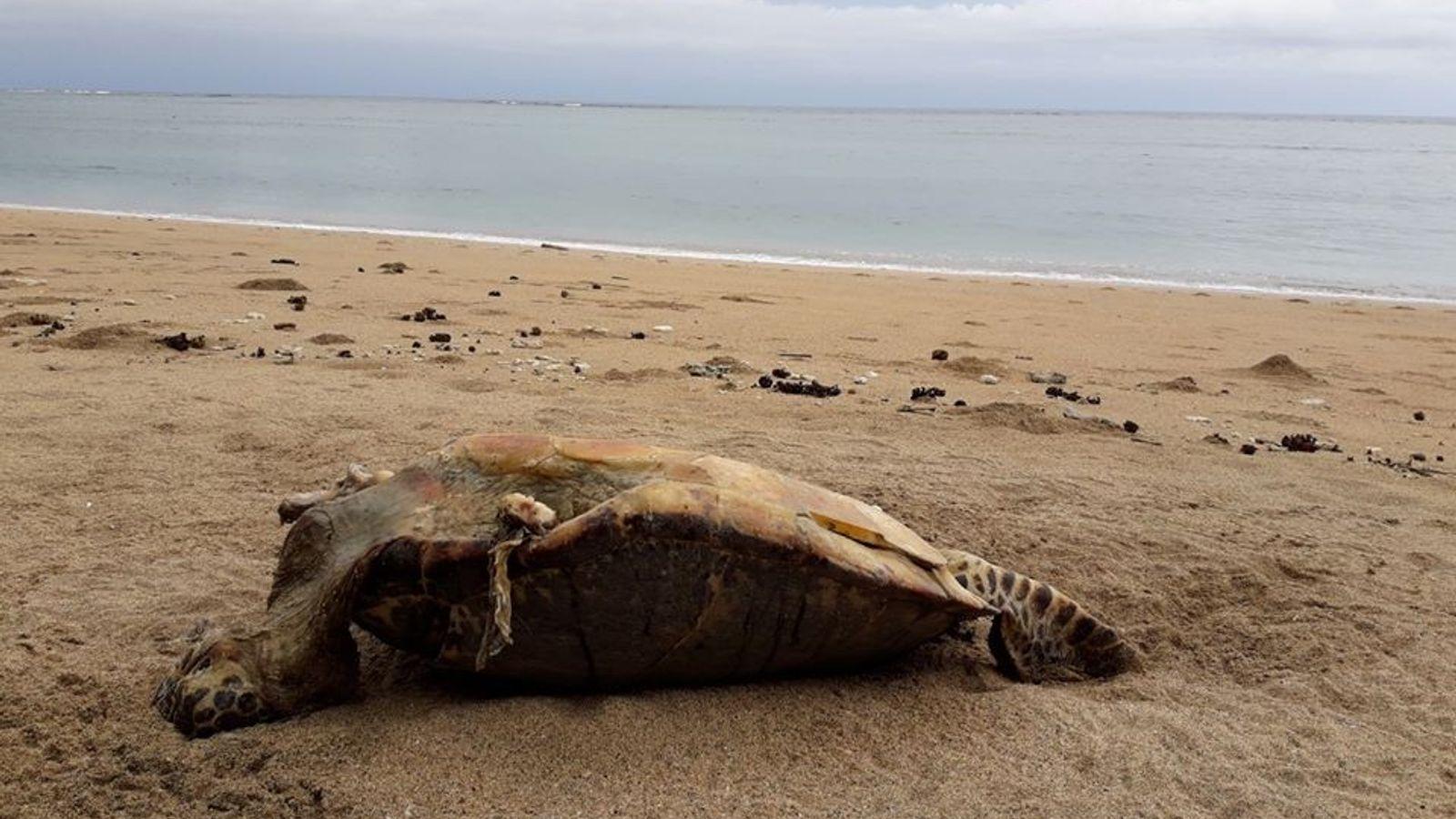 Cadavre d'une tortue verte sur la plage de Moya, à l'est de Mayotte