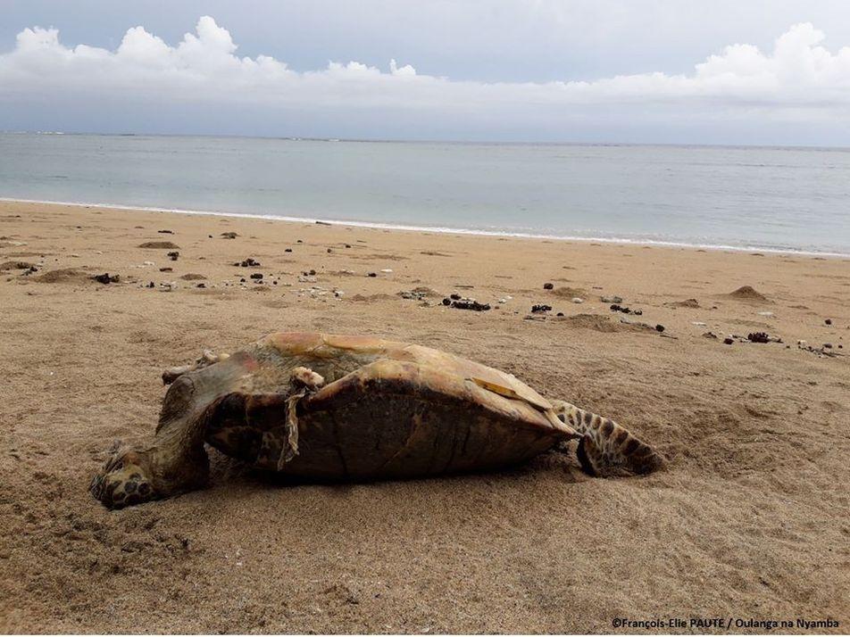 À Mayotte, le braconnage des tortues vertes explose à cause du confinement