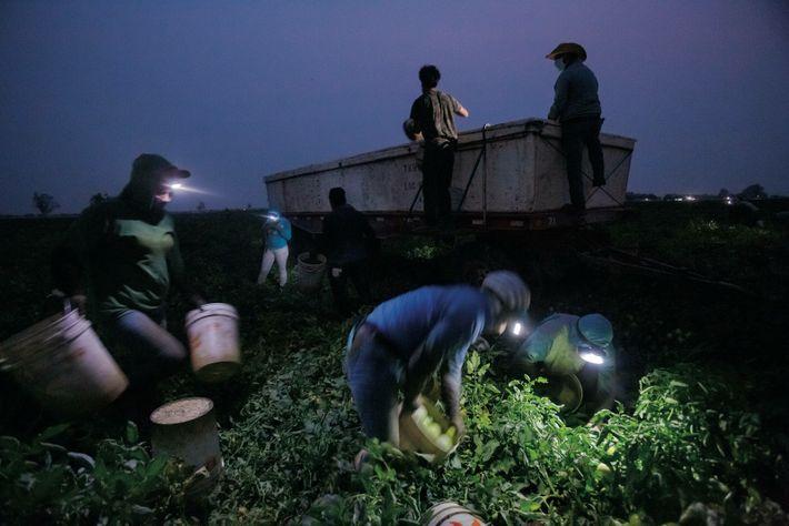 CALIFORNIE, ÉTATS-UNIS. Dans la vallée de San Joaquin, des cueilleurs de tomates se mettent au travail dès ...
