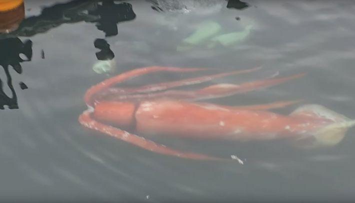 Le calamar géant, nourriture préférée des cachalots
