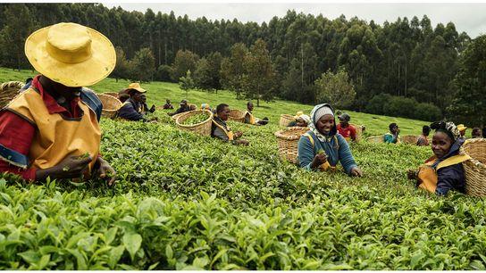 Les collines du thé, Kericho, Kenya, 2019 -  Le Kenya est le troisième exportateur de thé ...