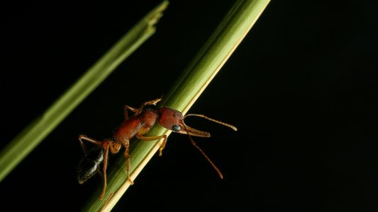 Ces fourmis peuvent faire rétrécir ou grossir leur cerveau tout au long de leur vie