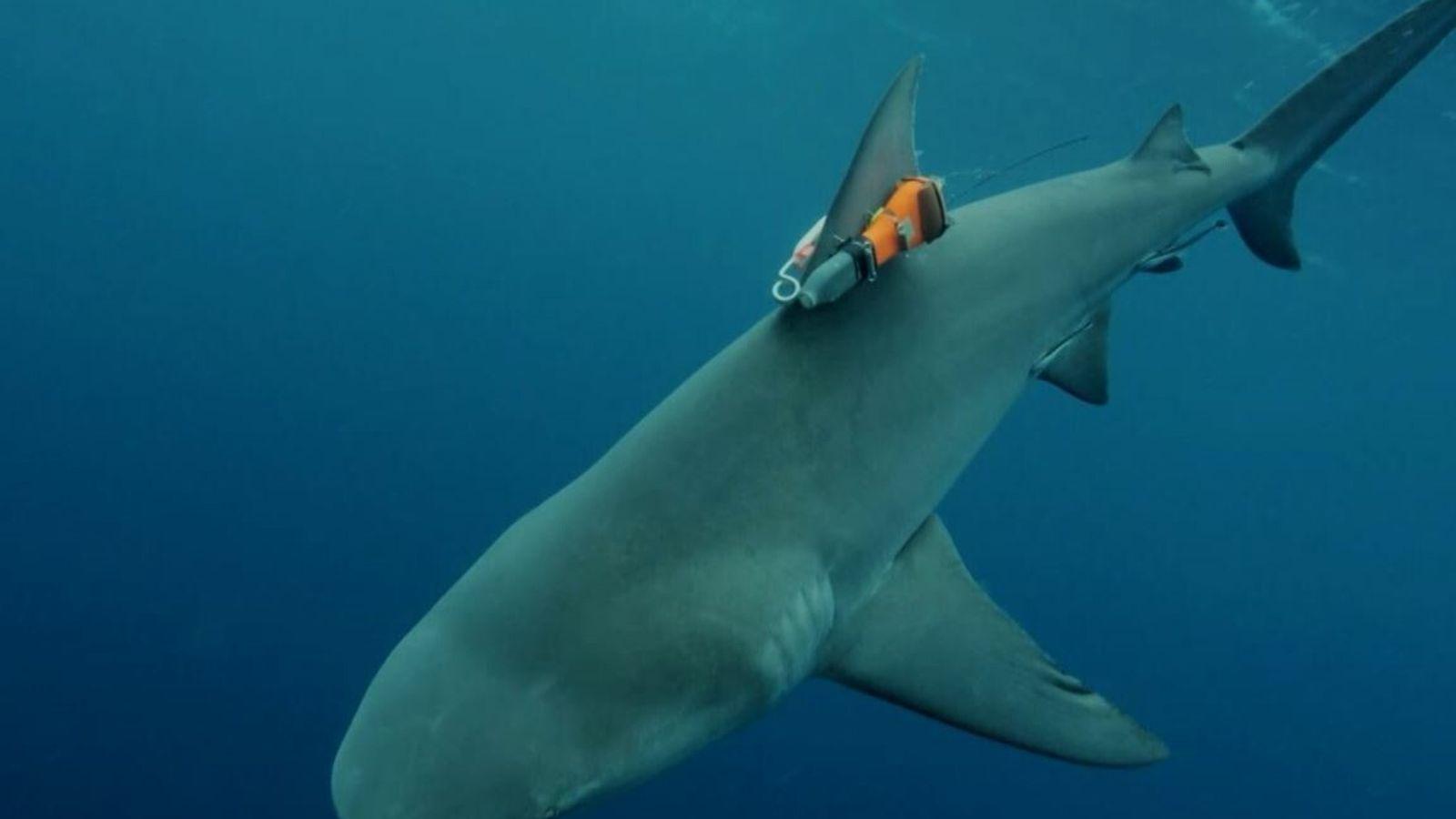 Requin-bouledogue.