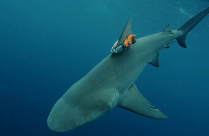 Opération périlleuse : comment fixer une caméra sur un dangereux requin-bouledogue ?