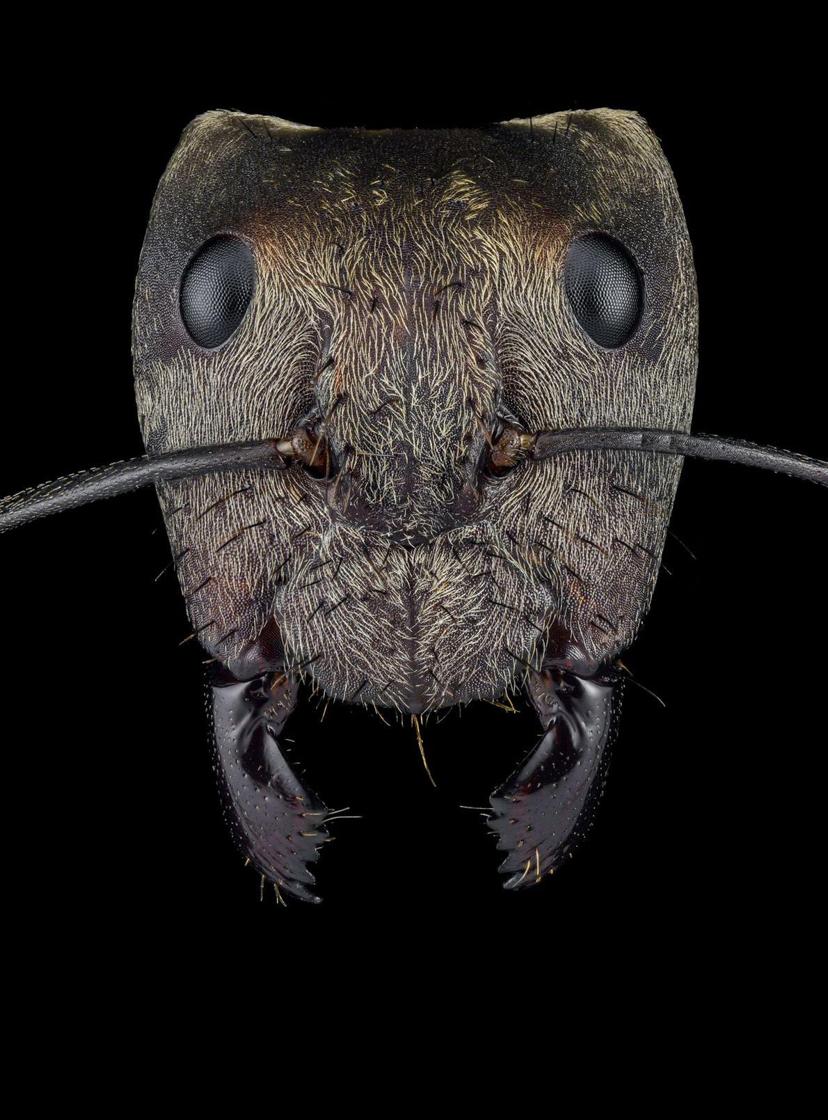 Camponotus sericeiventris - Mexico