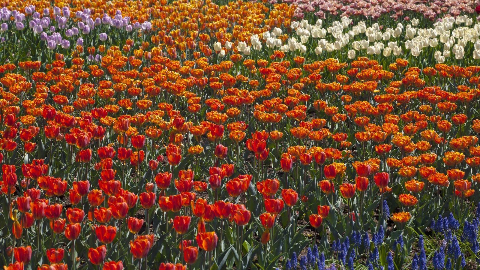 Chaque printemps au mois de mai, une explosion de couleurs a lieu dans les parcs de ...