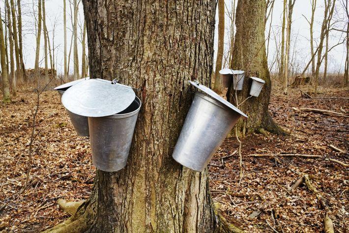 Au printemps, le célèbre sirop sucré est recueilli sur les érables à travers tout le Canada. ...