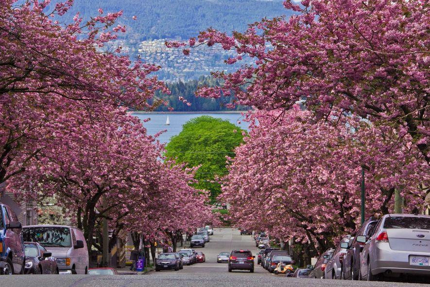En Colombie-Britannique, le Festival des cerisiers en fleurs de Vancouver fête la floraison de 40 000 ...