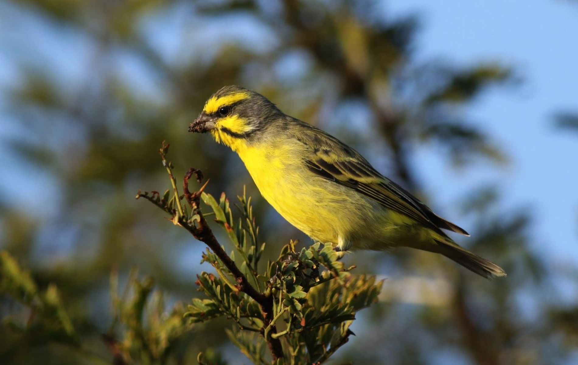 Canari jaune ( Serinus canaria)