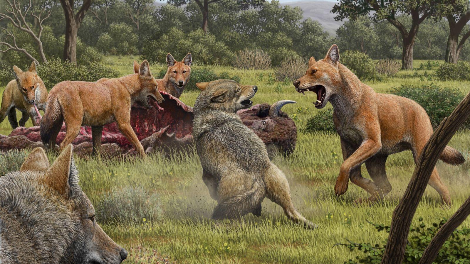 Illustration d'un affrontement entre loups gris et Canis dirus, à la fourrure rousse. Cette image, réalisée ...
