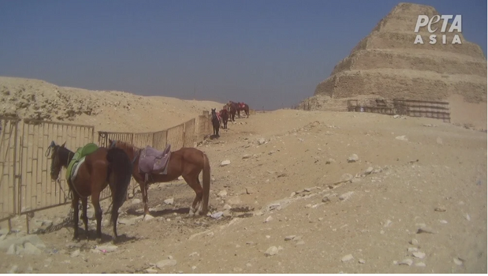 En attendant les touristes, les animaux restent parfois des heures sous le soleil saharien sans pouvoir ...