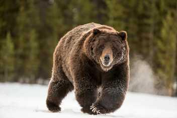Un grizzly féroce fond sur sa proie
