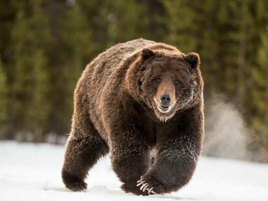 Un grizzly fond sur sa proie