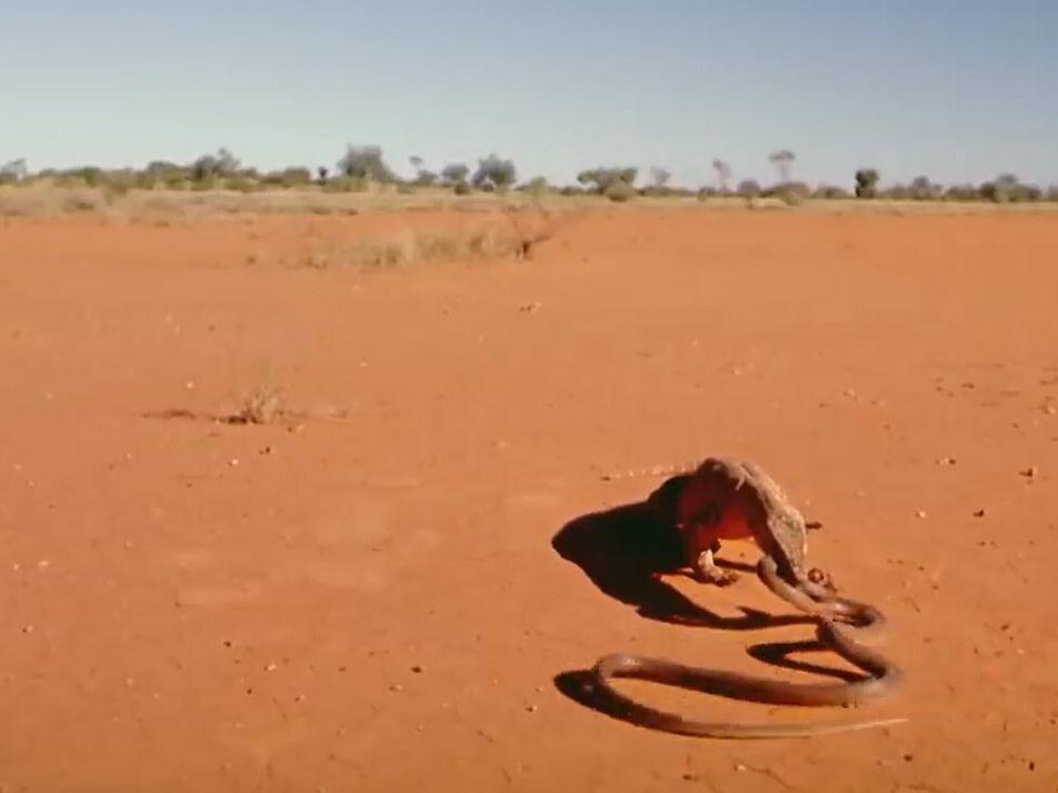 Duel brutal entre un serpent et un varan de Perenti