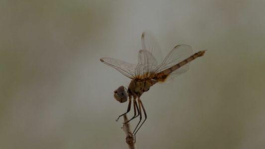 La libellule, prédateur le plus efficace du Botswana