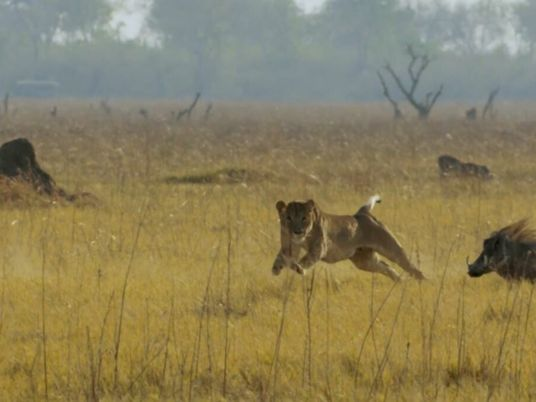 Des lionnes prennent des phacochères en embuscade