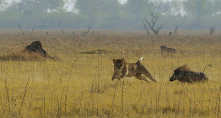 Des lionnes prennent d'assaut un phacochère et ses marcassins