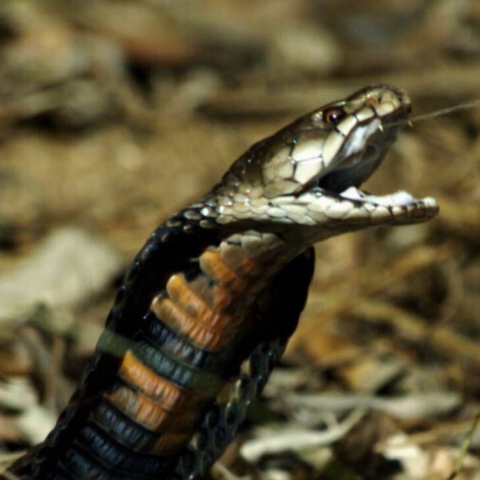 Le redoutable crachat du cobra cracheur du Mozambique