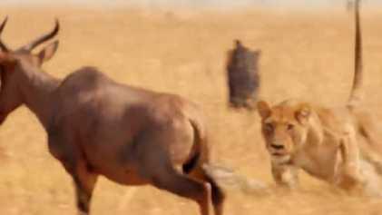La lionne, traqueuse hors-pair