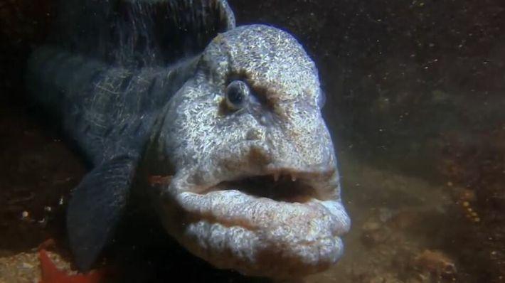 Le poisson loup à ocelles, un prédateur redoutable