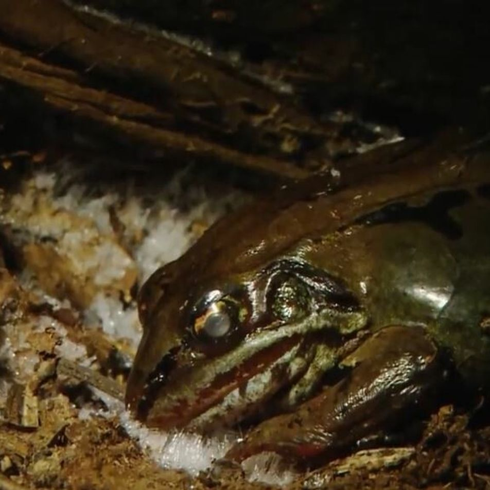Une grenouille des bois gelée revient à la vie