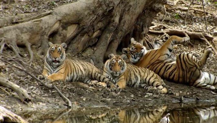 Chez les tigres aussi, les adolescents sont parfois difficiles