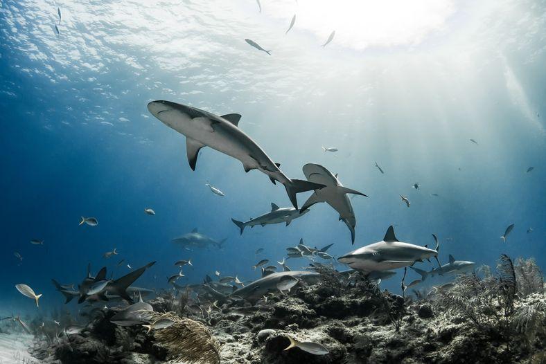Des requins de récif (Carcharhinus perezi) se rassemblent près des rochers et des coraux au large ...