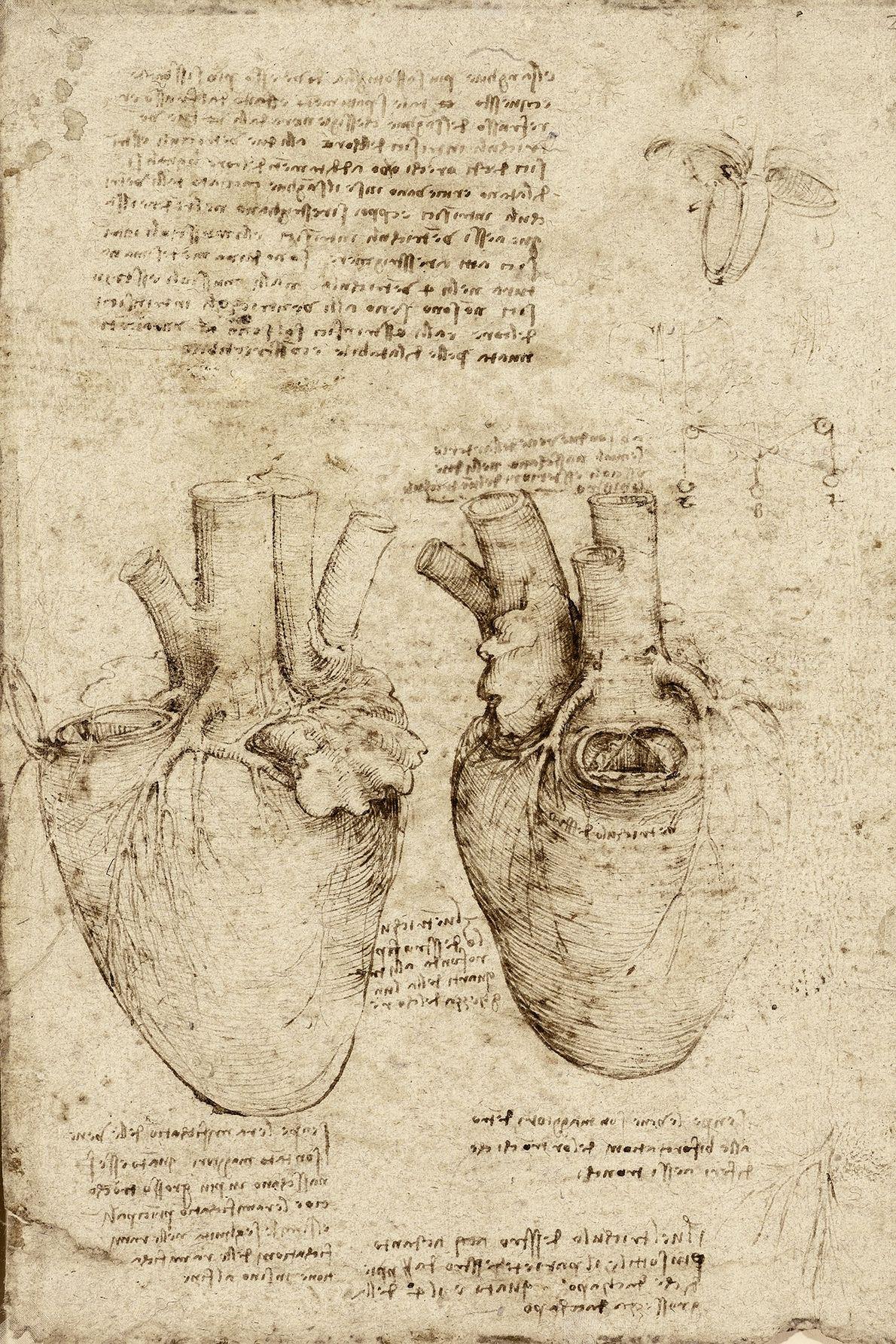 Dans ses croquis extrêmement détaillés de cœur de bœuf disséqué, représenté sur cette feuille, Léonard a ...