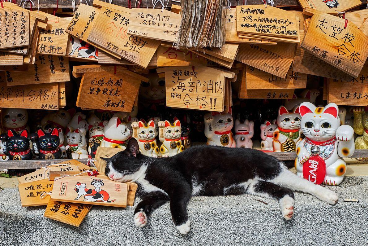 Au Japon, à un temple du chat, un vrai félin se repose au milieu des maneki-neko, ...