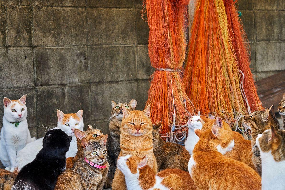 Ces félins vivent sur l'une des 12 « îles aux chats » du Japon. Selon les ...