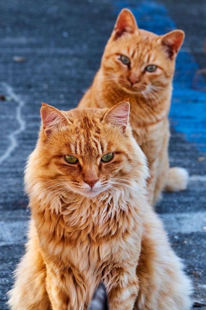 Sur une « île aux chats » japonaise, un chat tigré roux regarde un autre chat ...