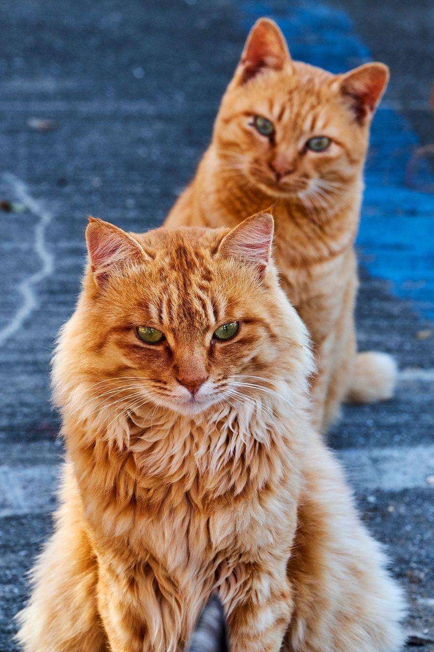 Sur une « île aux chats » japonaise, un chat tigré roux regarde un autre chat avec curiosité.
