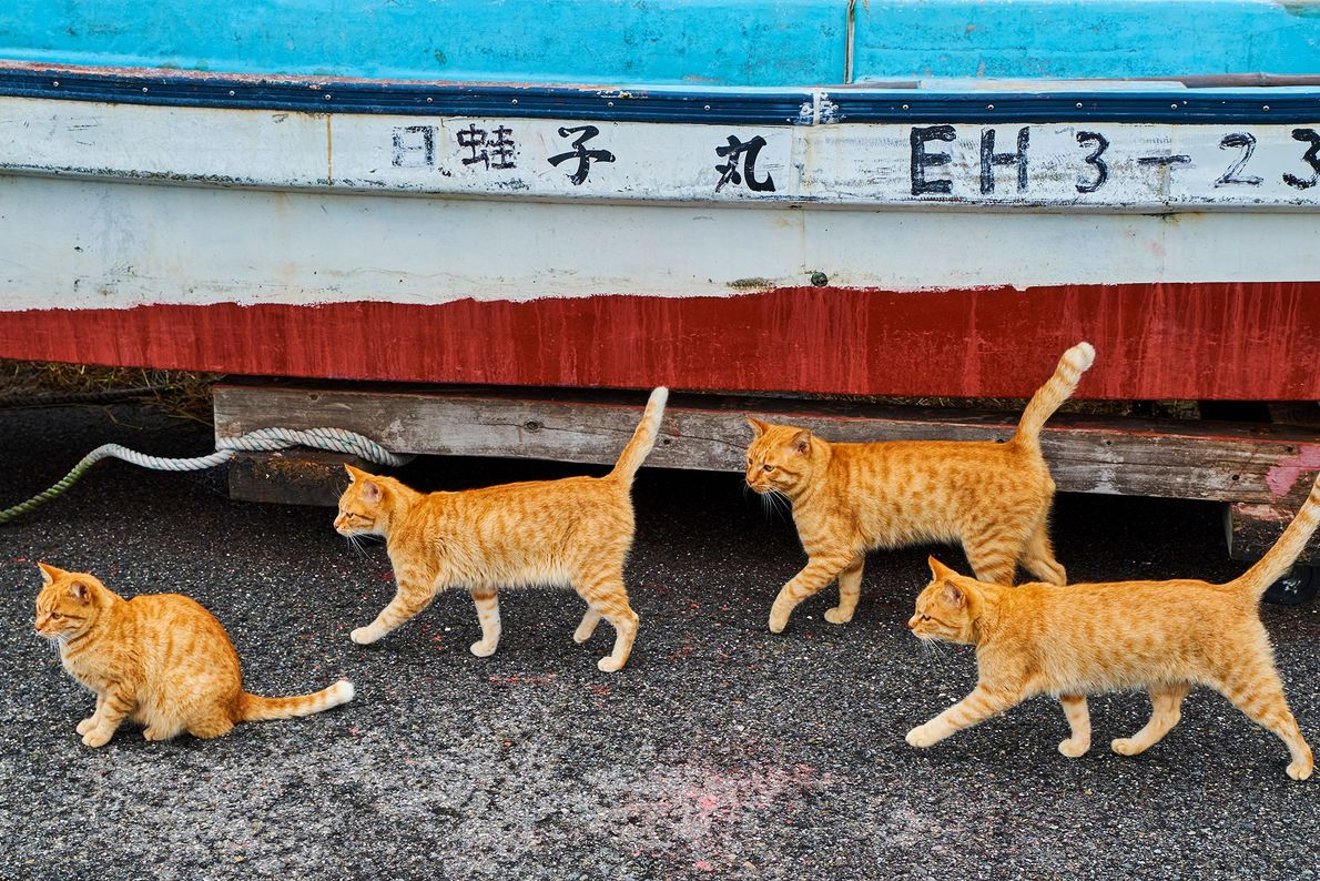 Des chats tigrés se baladent à côté d'un bateau de pêche au Japon, où les chats ...