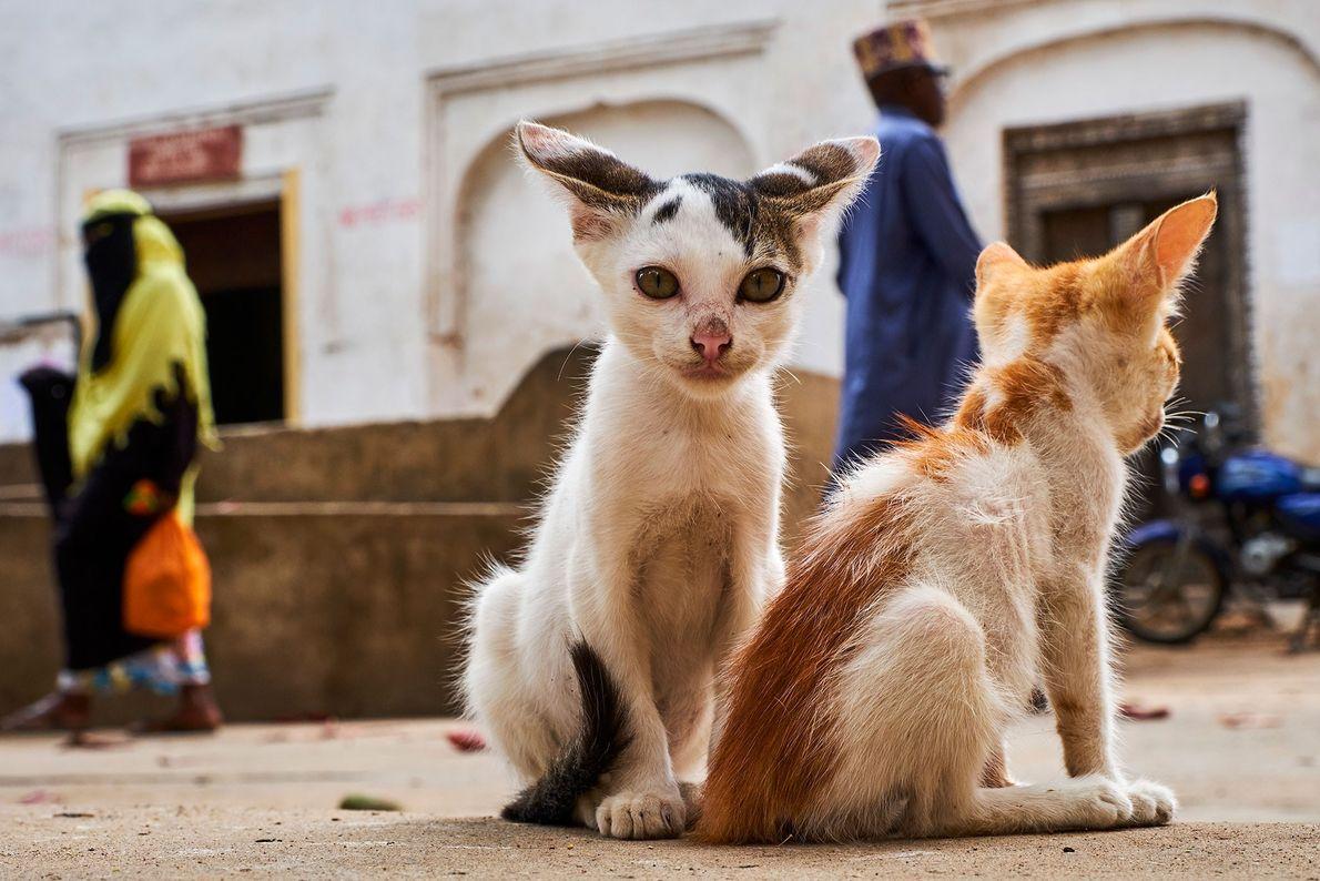 Des chatons sont assis dans la Vieille ville de Lamu, plus ancien lieu de peuplement Swahili ...