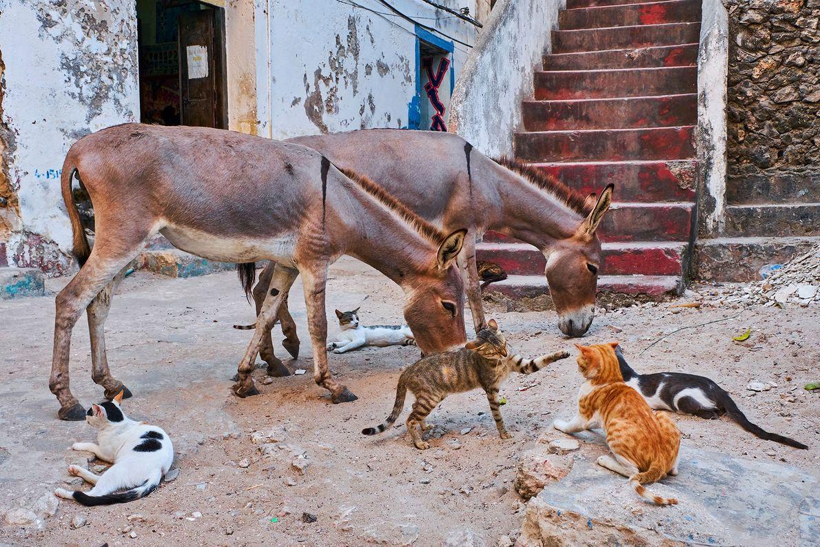 En plus de sa forte densité de chats des rues, Lamu compte également des milliers d'ânes.