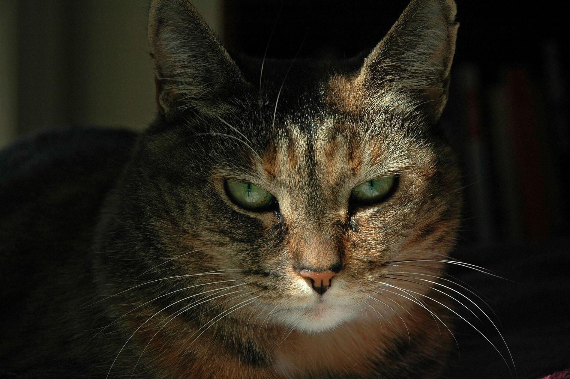 Tout comme les humains, les chats communiquent leurs émotions au moyen d'expressions faciales.