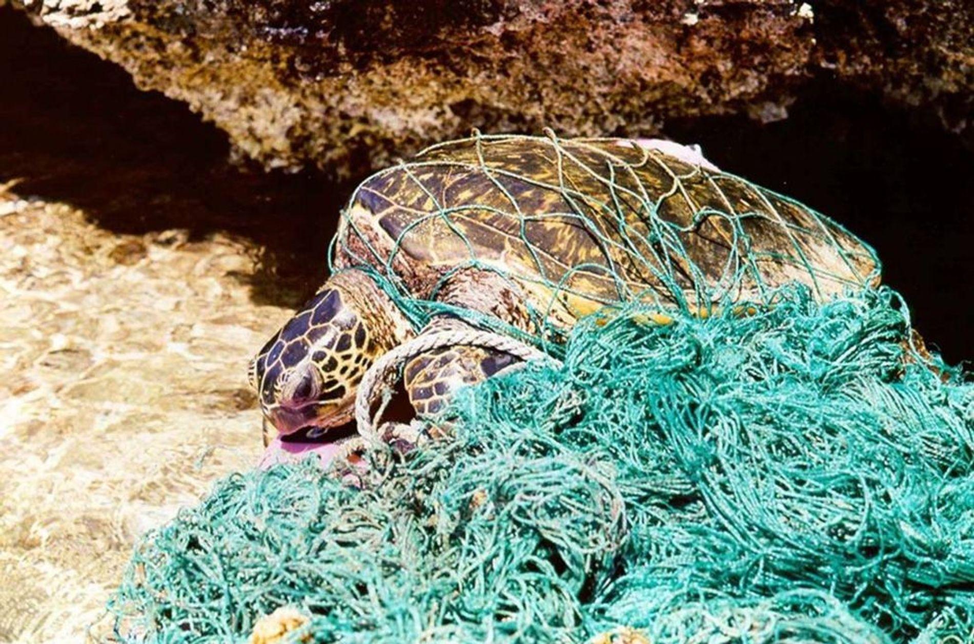 Les tortues aussi sont mises en danger par les débris marins. Elles peuvent facilement se retrouver ...