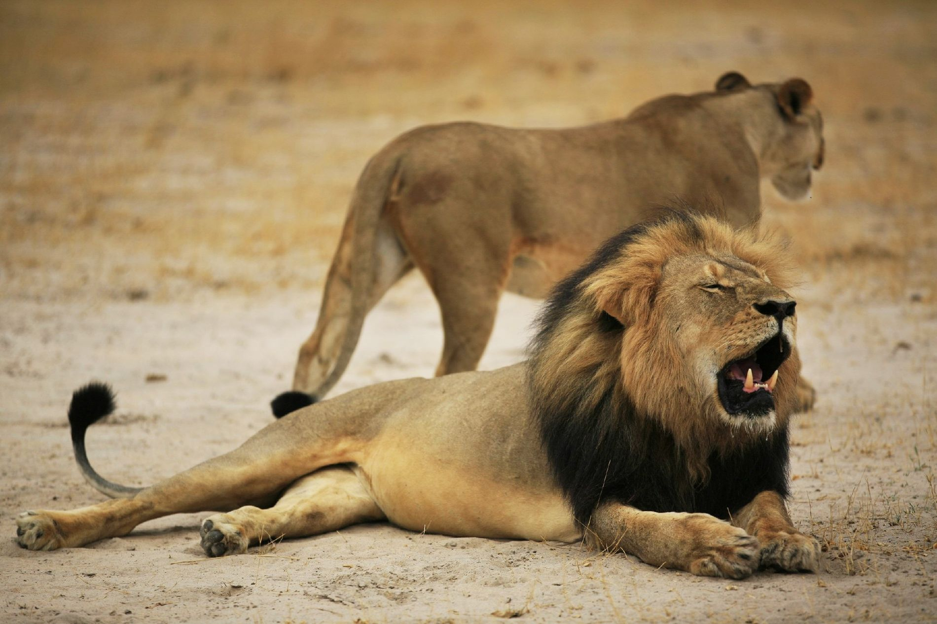 Cecil, a 13-year-old male lion who lived in Zimbabwe's Hwange National Park, was killed by a trophy hunter in July 2015.