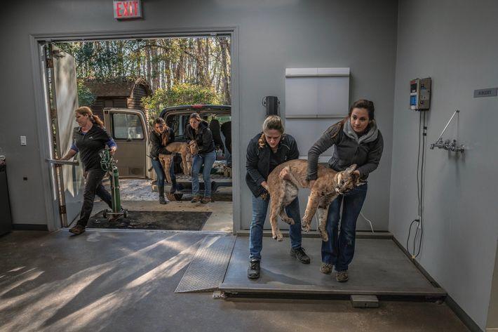 Le personnel du Centre de protection de White Oak transporte deux jeunes panthères sous sédatif. Leur ...